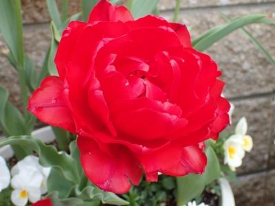 「アンジェリケ」が咲きました_e0289203_2159264.jpg