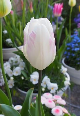 「アンジェリケ」が咲きました_e0289203_21594853.jpg