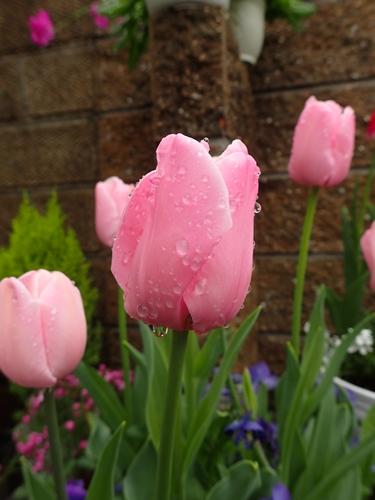 「アンジェリケ」が咲きました_e0289203_2233561.jpg