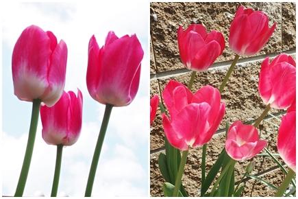 「アンジェリケ」が咲きました_e0289203_223531.jpg