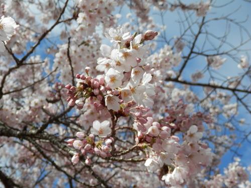桜が満開になりました_f0296936_10113528.jpg