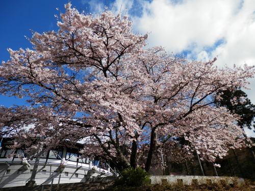 桜が満開になりました_f0296936_9515392.jpg