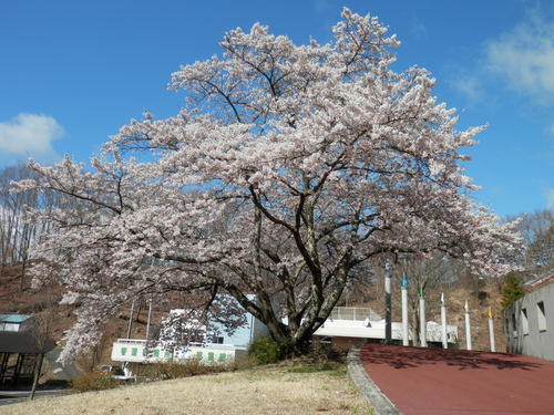 桜が満開になりました_f0296936_955766.jpg