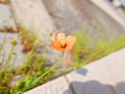毎年咲く 小さなポピー_e0175443_8445066.jpg