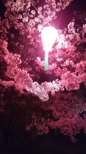 桜_a0111845_21052082.jpg