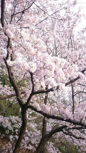 桜_a0111845_22522376.jpg