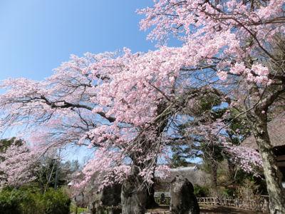 富士見の古木桜、満開♪_f0019247_1961592.jpg