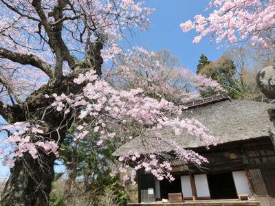 富士見の古木桜、満開♪_f0019247_1963065.jpg