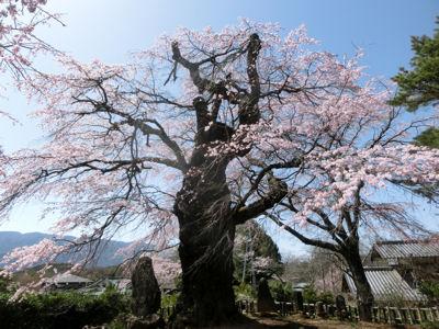 富士見の古木桜、満開♪_f0019247_196467.jpg