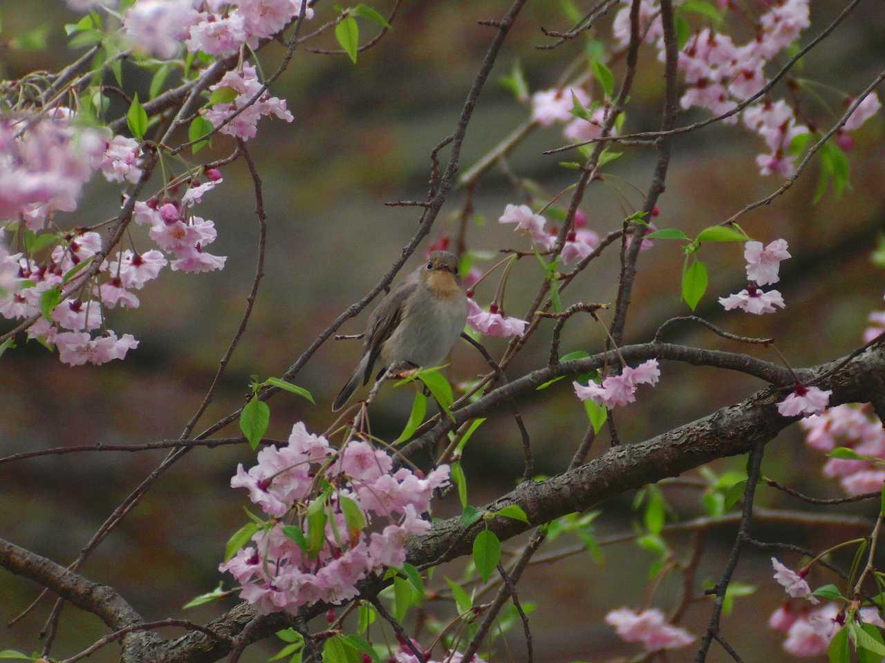 枝垂桜とオジロビタキ_f0024068_1631311.jpg