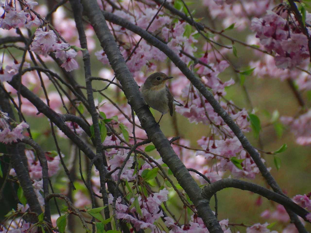 枝垂桜とオジロビタキ_f0024068_16321624.jpg