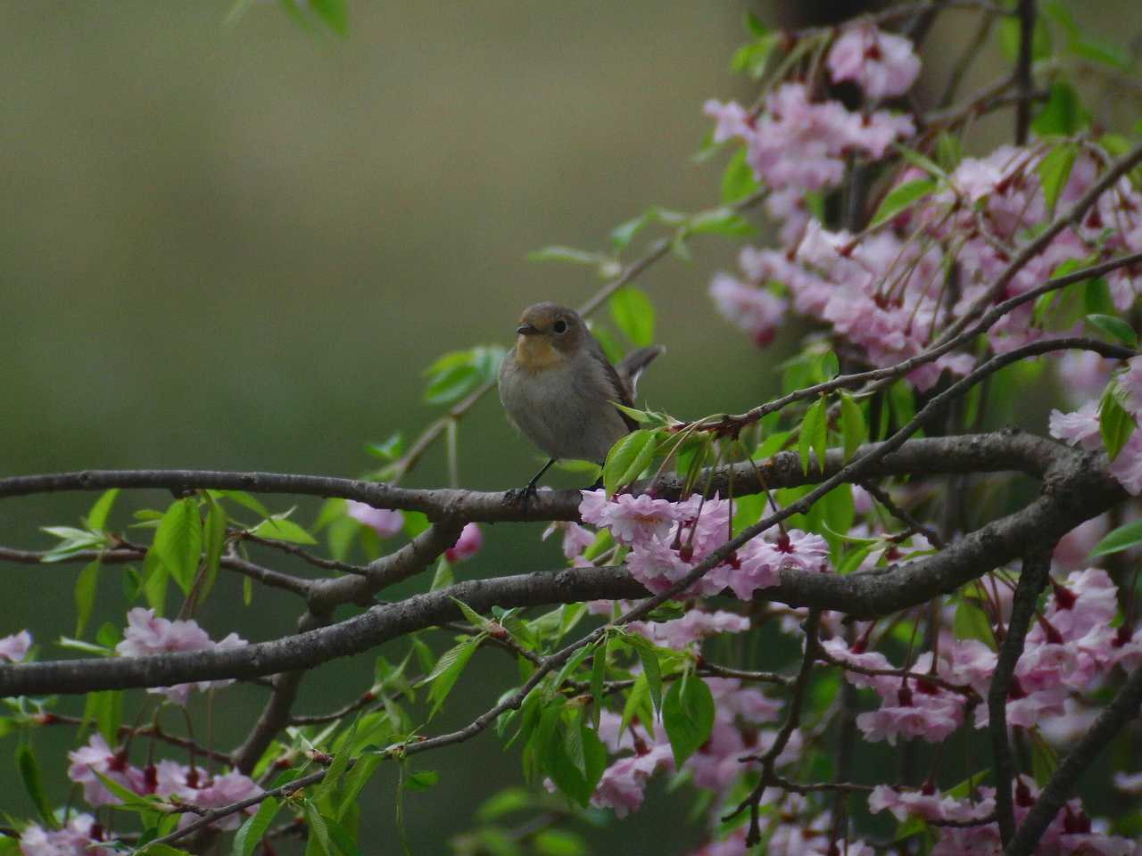 枝垂桜とオジロビタキ_f0024068_1633271.jpg