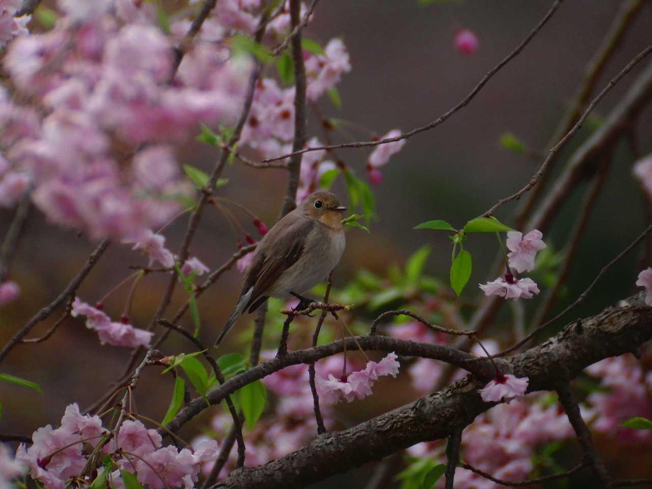 枝垂桜とオジロビタキ_f0024068_16343873.jpg