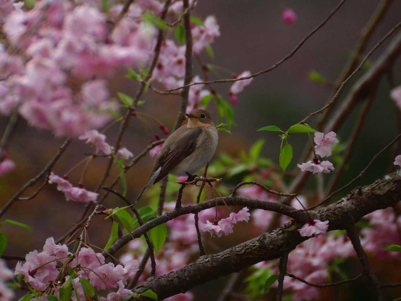 枝垂桜とオジロビタキ_f0024068_16345178.jpg