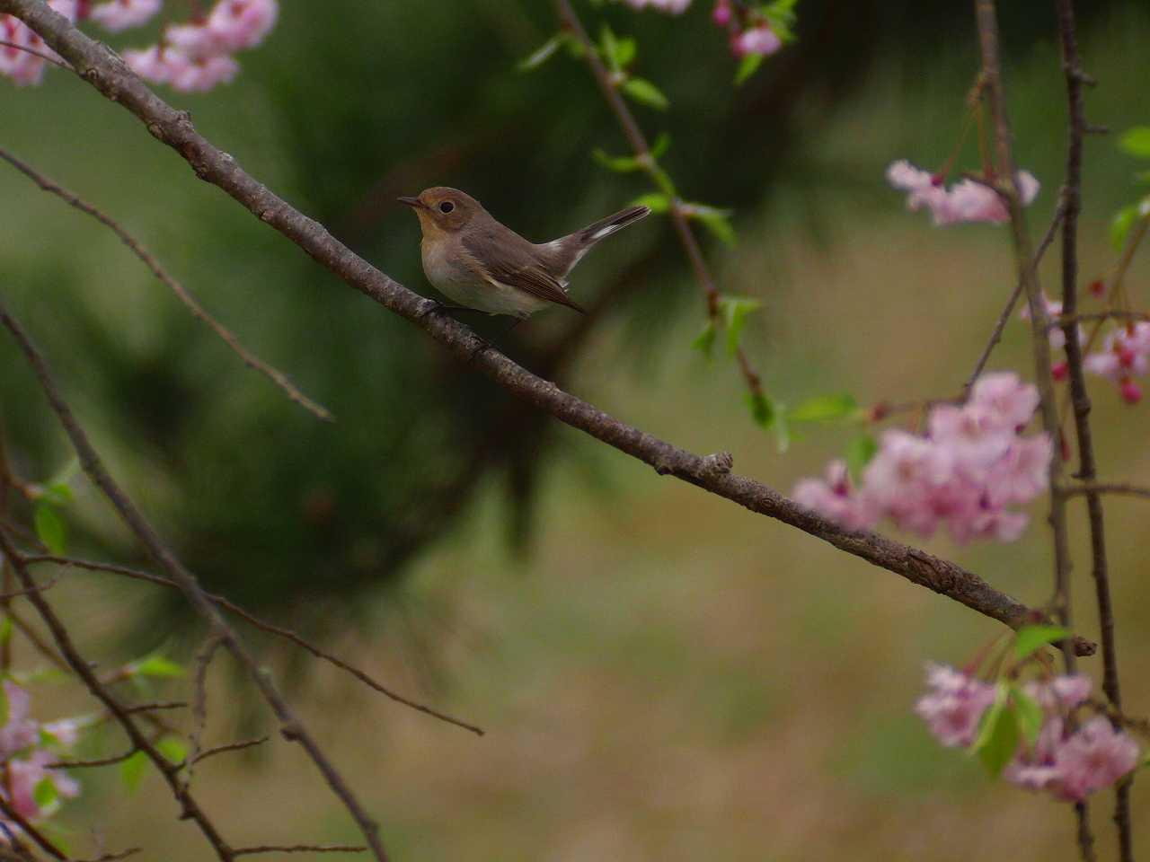 枝垂桜とオジロビタキ_f0024068_16355148.jpg