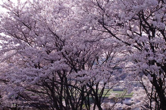 花見日和_d0309612_0591756.jpg