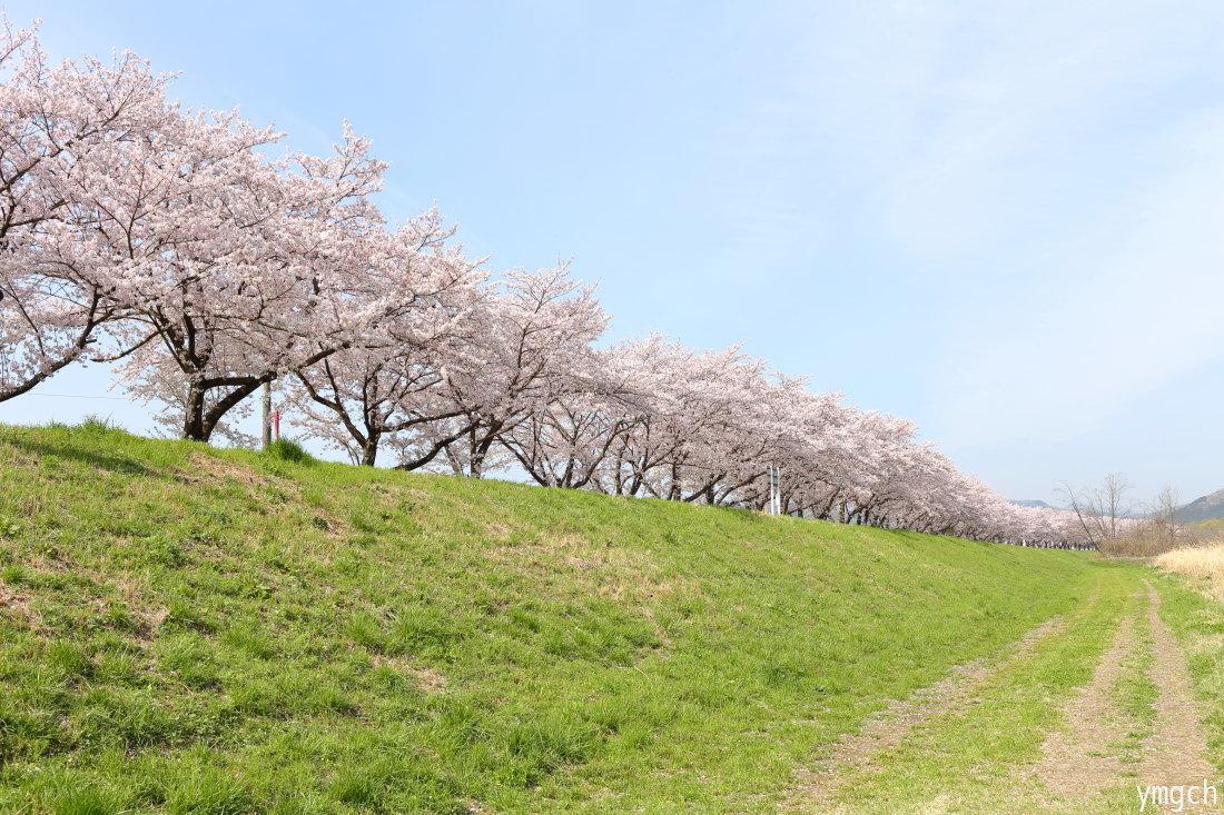 都幾川の桜堤(2)_f0157812_09300352.jpg