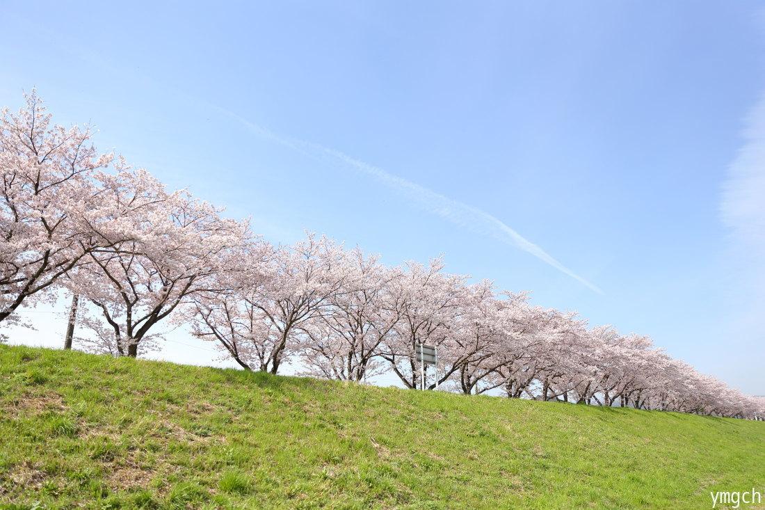 都幾川の桜堤(2)_f0157812_09300974.jpg