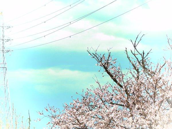 2016年4月21日 公園に咲く桜花_b0341140_1925155.jpg