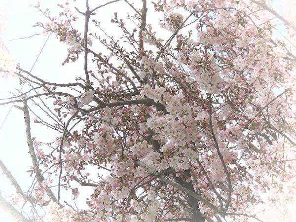 2016年4月21日 公園に咲く桜花_b0341140_19252399.jpg