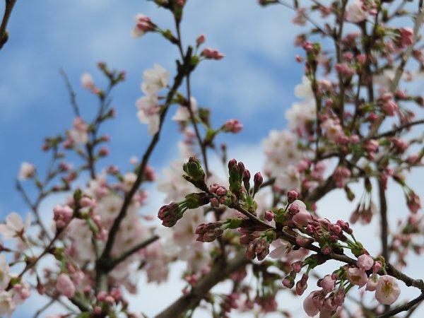 2016年4月21日 公園に咲く桜花_b0341140_19254894.jpg