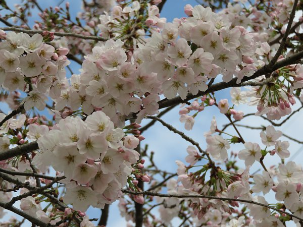 2016年4月21日 公園に咲く桜花_b0341140_19263732.jpg