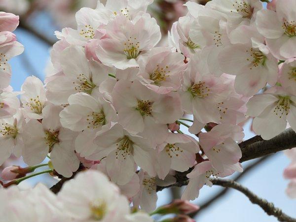 2016年4月21日 公園に咲く桜花_b0341140_19265413.jpg