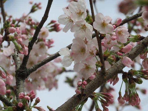 2016年4月21日 公園に咲く桜花_b0341140_192682.jpg