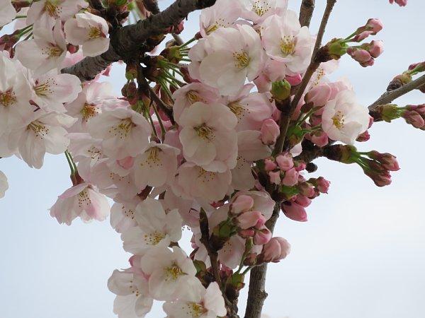 2016年4月21日 公園に咲く桜花_b0341140_19271942.jpg