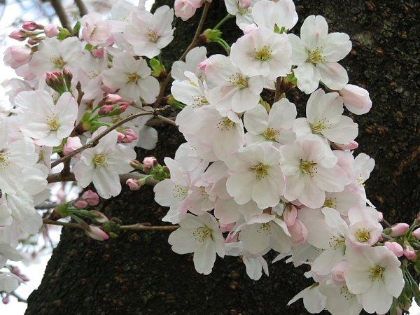 2016年4月21日 公園に咲く桜花_b0341140_19274430.jpg