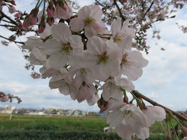 2016年4月21日 公園に咲く桜花_b0341140_1928026.jpg