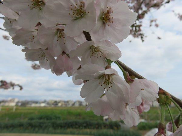 2016年4月21日 公園に咲く桜花_b0341140_19281365.jpg