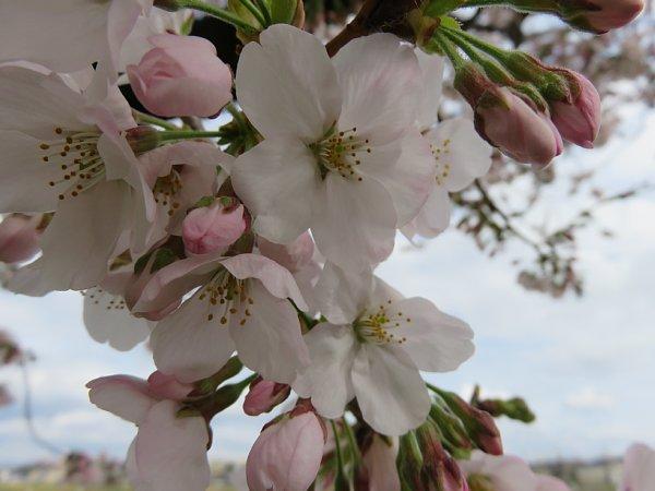 2016年4月21日 公園に咲く桜花_b0341140_19282551.jpg