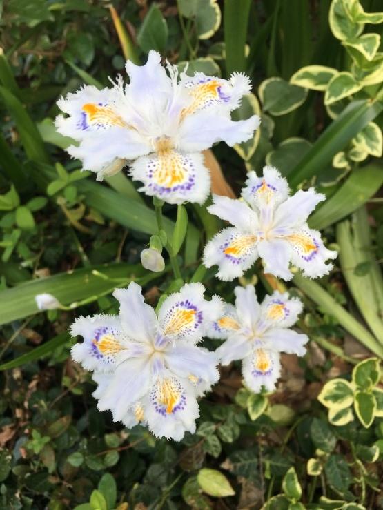 のあ681 スミレの花咲くころ♪_b0061261_21455358.jpeg