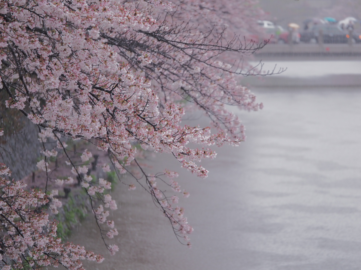 桜 2016 岡崎界隈_f0021869_23522133.jpg