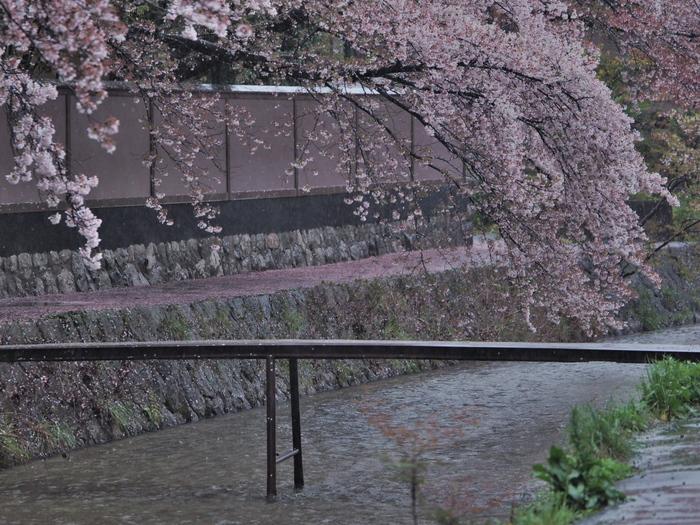 桜 2016 岡崎界隈_f0021869_23532291.jpg