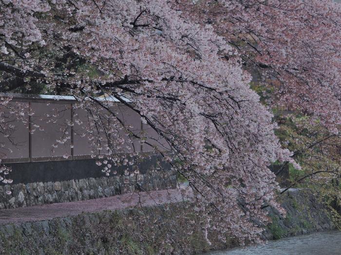 桜 2016 岡崎界隈_f0021869_23533887.jpg
