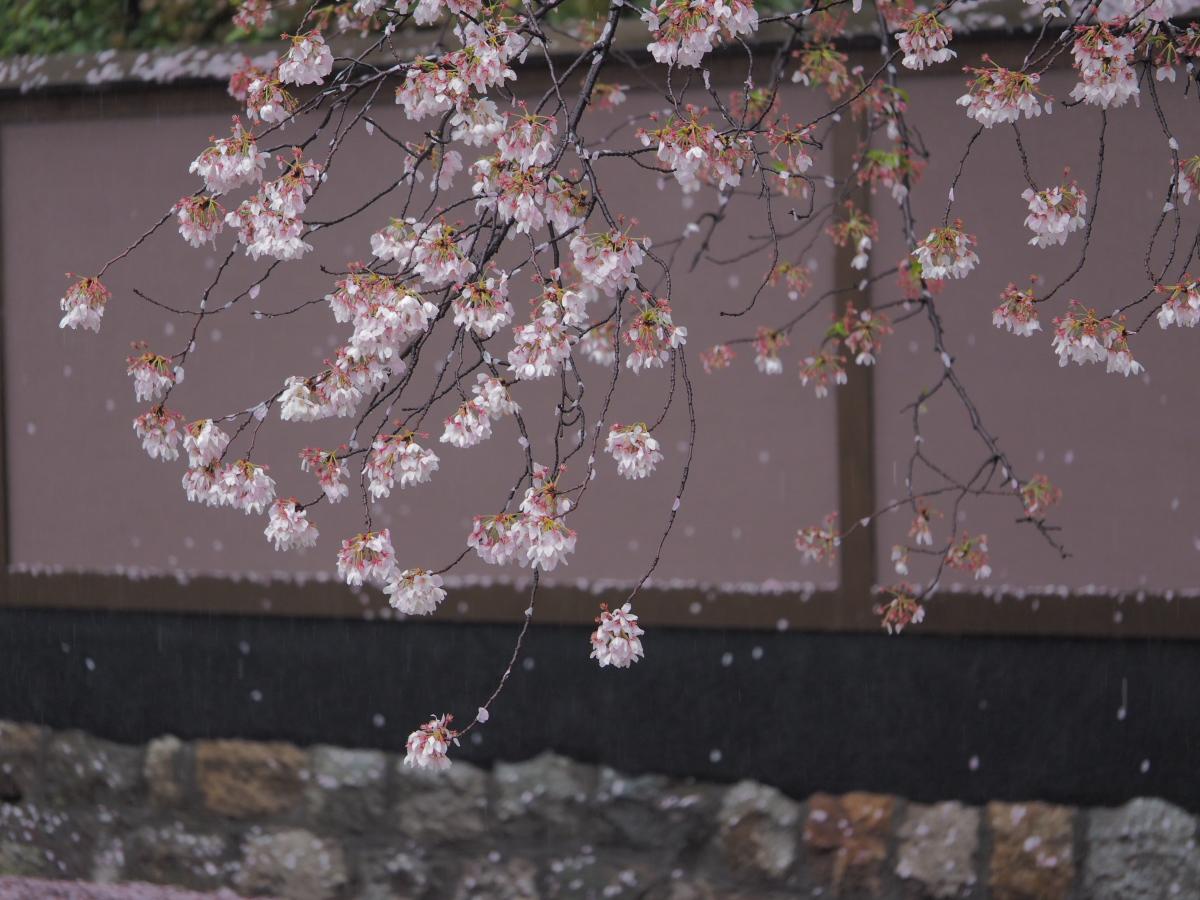 桜 2016 岡崎界隈_f0021869_2353548.jpg