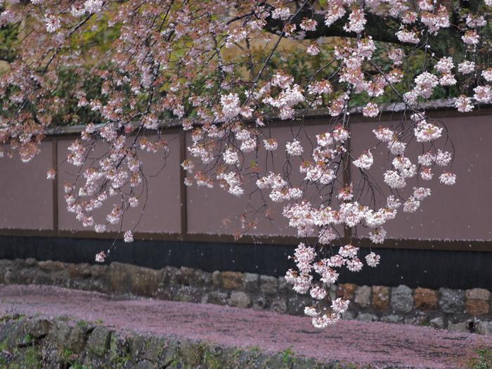桜 2016 岡崎界隈_f0021869_2354956.jpg