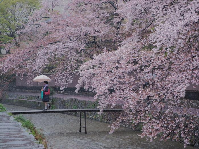 桜 2016 岡崎界隈_f0021869_23551969.jpg