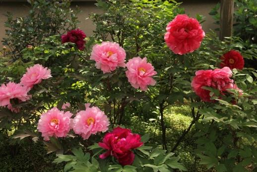 牡丹の花(箱崎花庭園)_b0214473_16183652.jpg