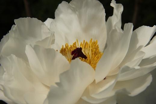 牡丹の花(箱崎花庭園)_b0214473_1619225.jpg