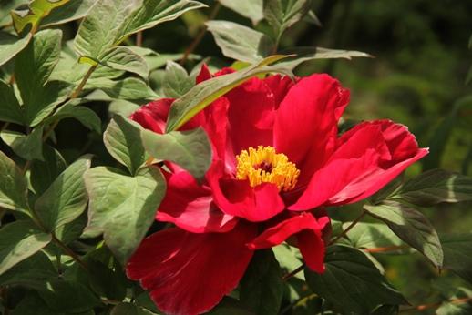 牡丹の花(箱崎花庭園)_b0214473_16192992.jpg