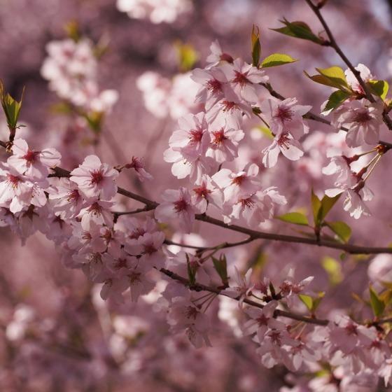 高遠の桜_a0104074_10344464.jpg