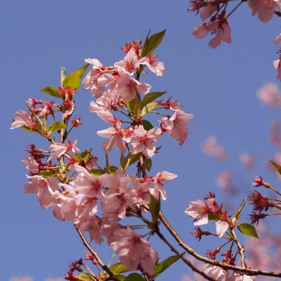 高遠の桜_a0104074_10352591.jpg