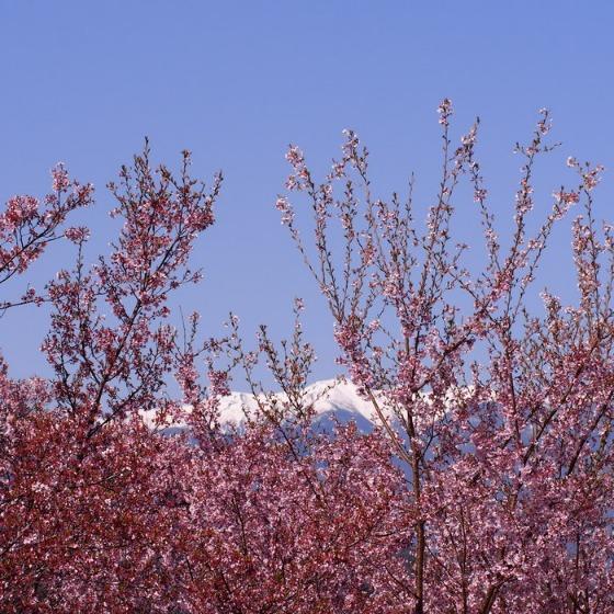高遠の桜_a0104074_1035492.jpg