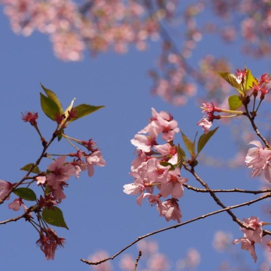 高遠の桜_a0104074_1035619.jpg