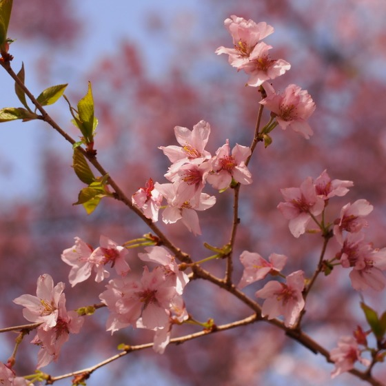 高遠の桜_a0104074_10363693.jpg
