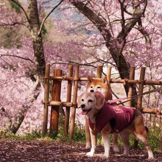 高遠の桜_a0104074_10374727.jpg