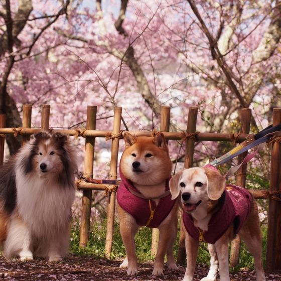 高遠の桜_a0104074_10381061.jpg
